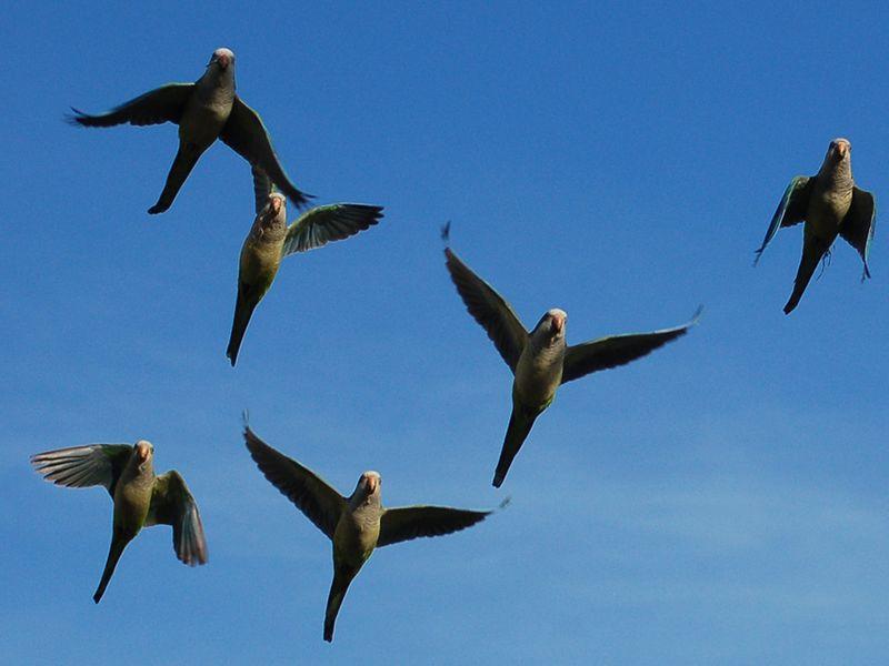 Parrot flight