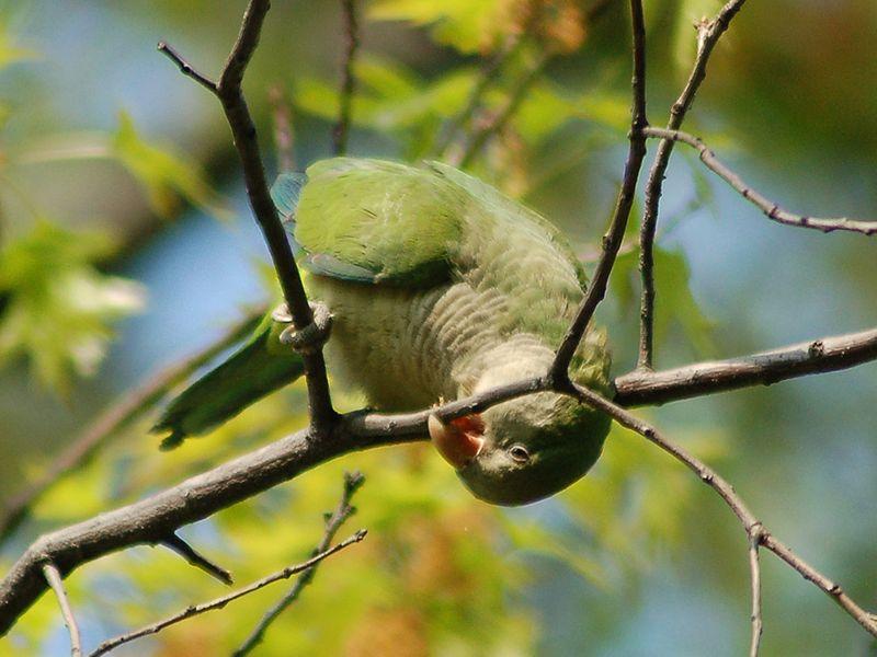 Parrot somersault