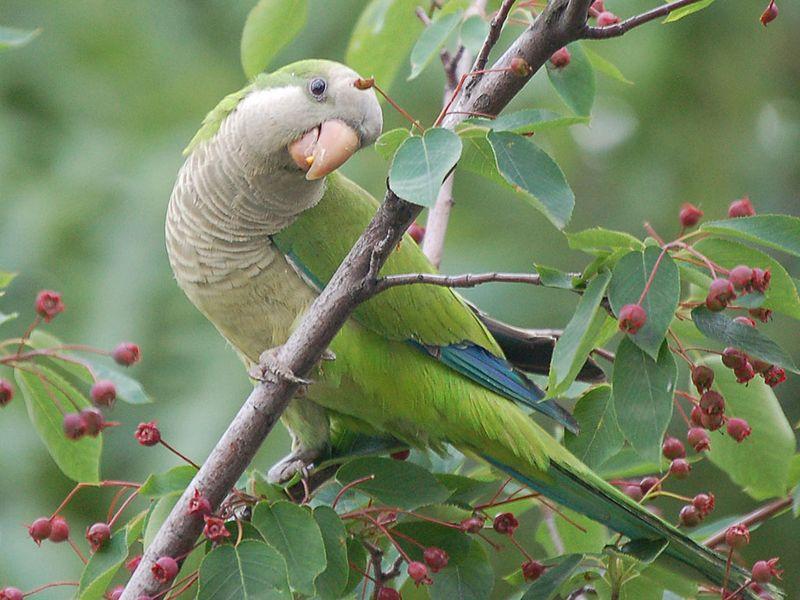 Parrot eating berries