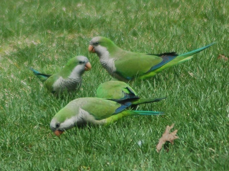 Parrots eating grass