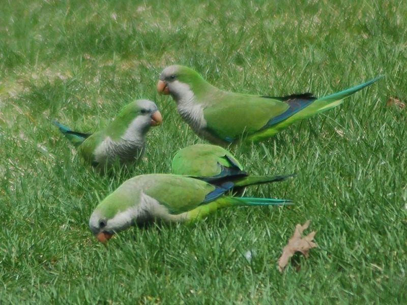 Parrots eating grass