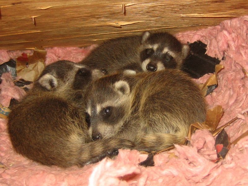 Raccoon babies attic