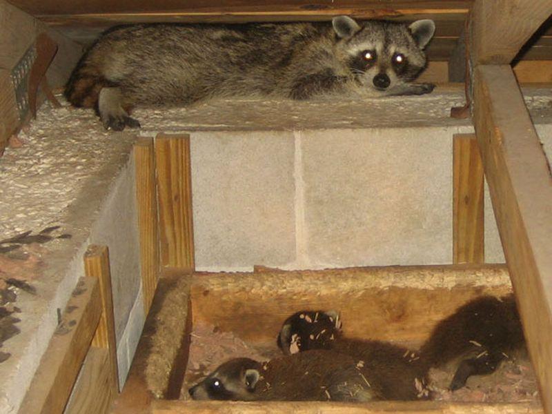 Mama raccoon and babies