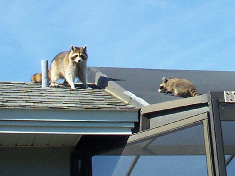 Mama raccoon on roof