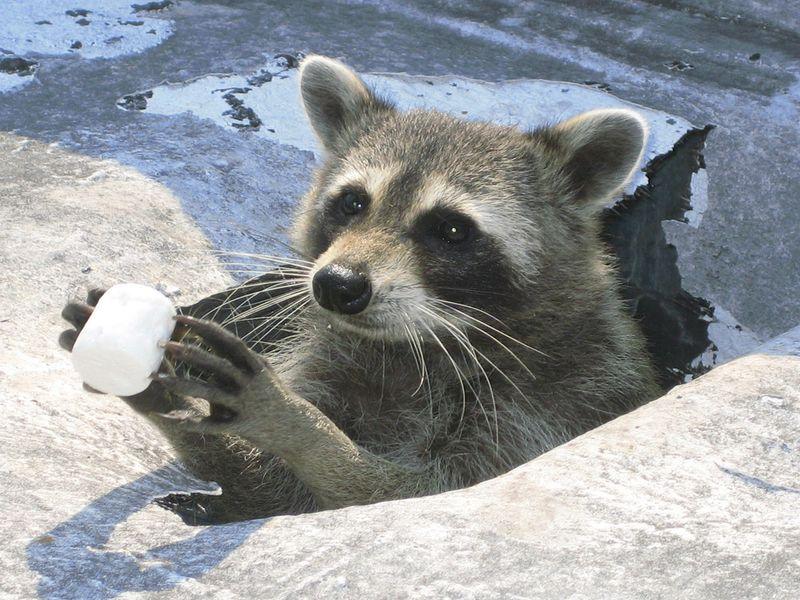 Raccoon holding marshmallow