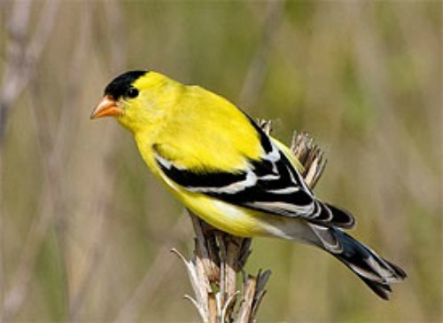 Goldfinch500