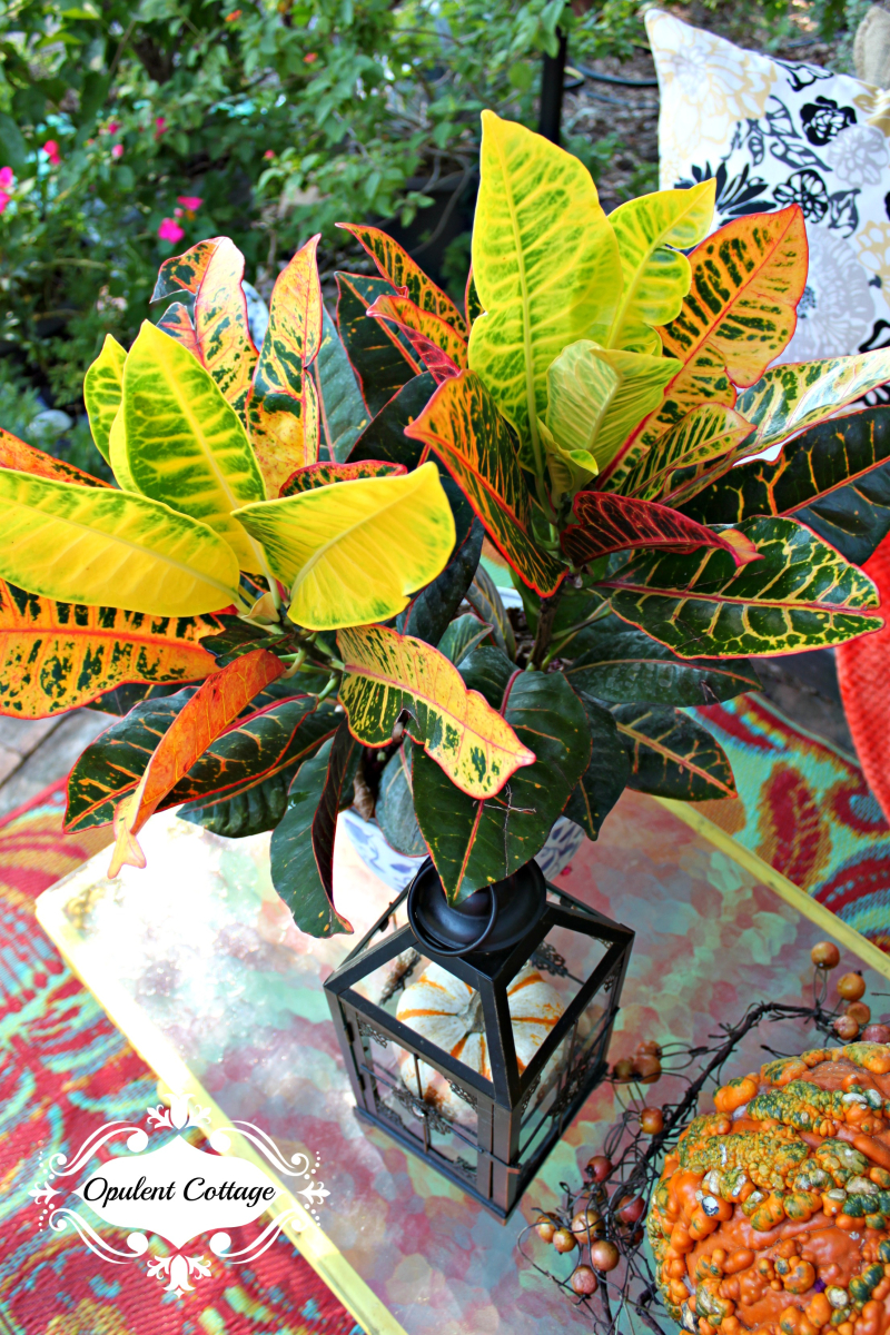 Opulent Cottage Crotons on Back Patio for Fall